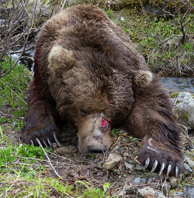 Brown Bear Hunting Photos