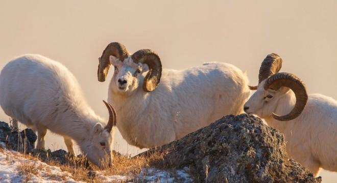 Alaska's Dall Sheep