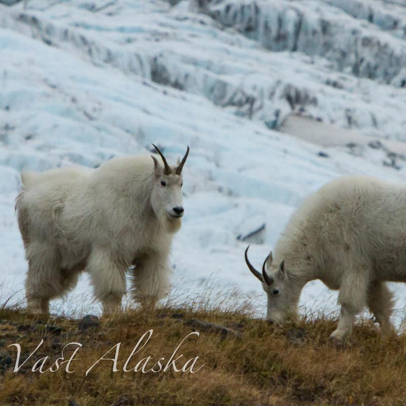 Chugach Mt. Goat