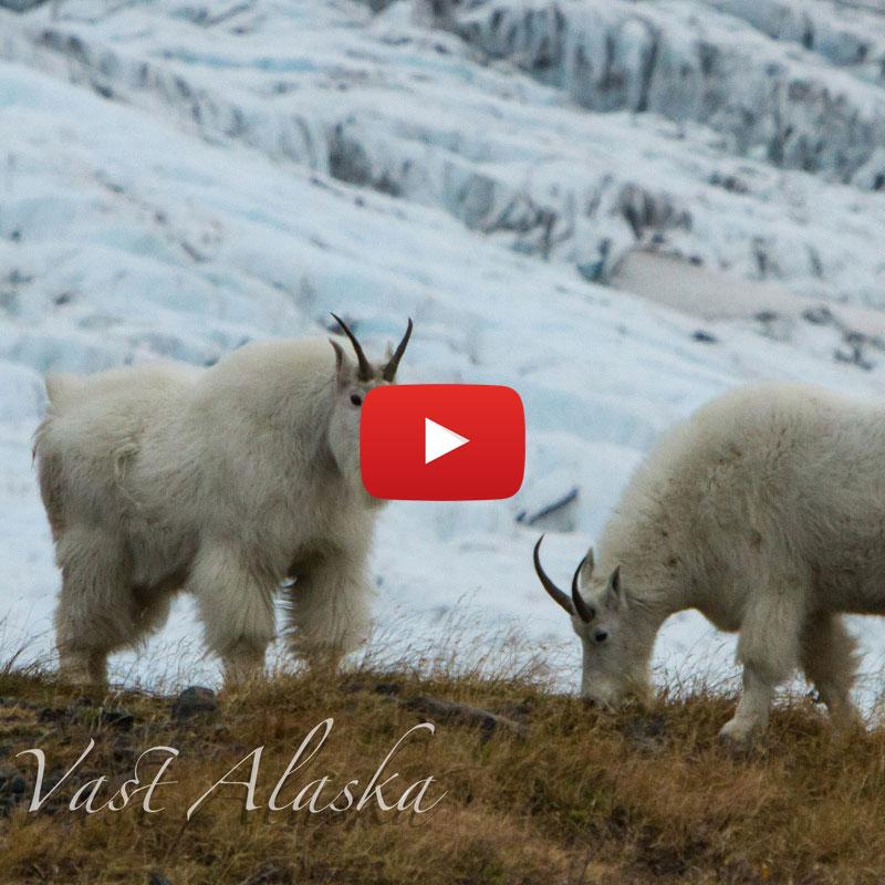 Chugach Mt. Goats