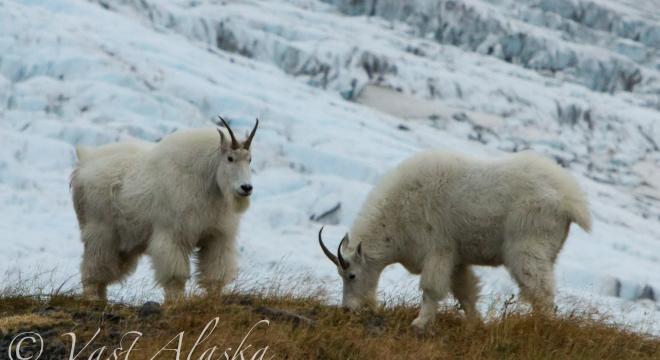 Chugach Range Mountain Goats