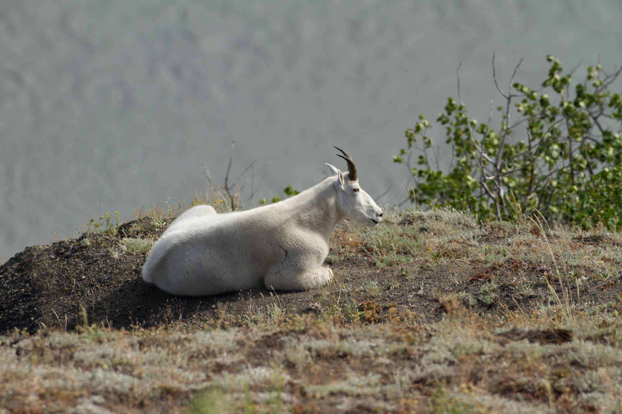 Goat Hunt Alaska