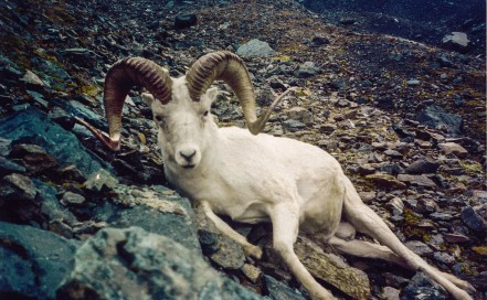 Hunt Dall Sheep