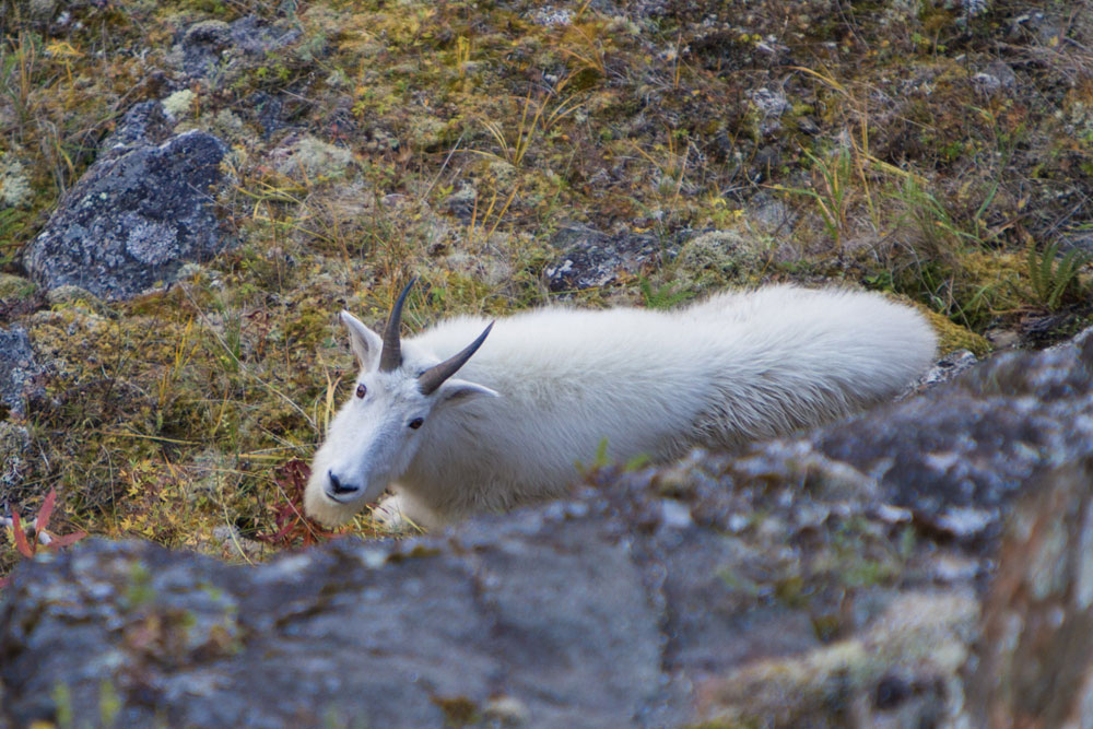 Vast Alaska Mt. Goat Hunts