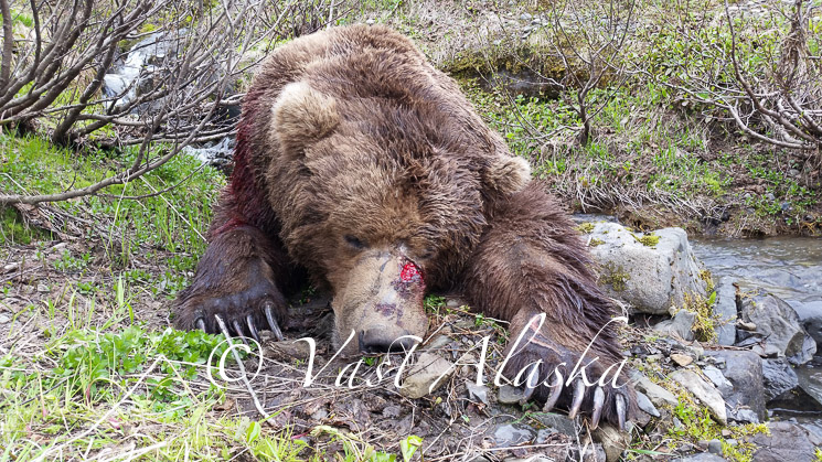 Alaska Peninsula Brown Bear Hunting 7