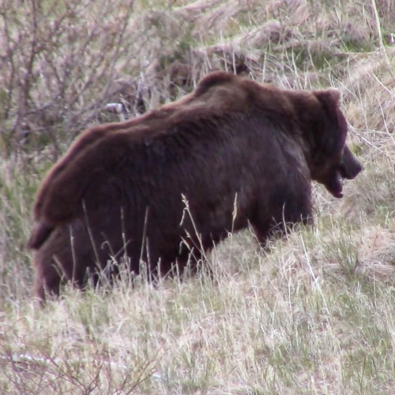 Alaska Brown Bear Hunting - Guided Bear Hunts - photo#21