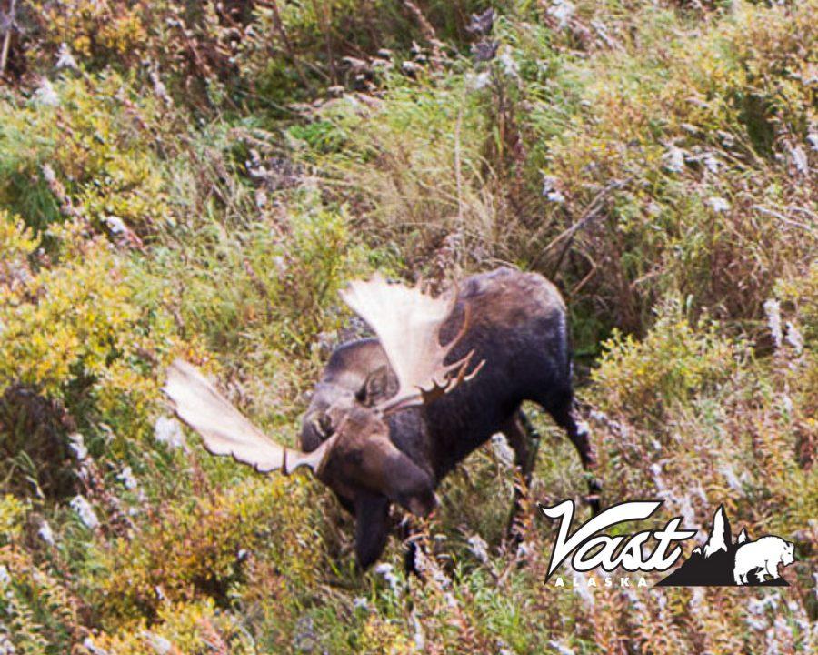 Alaska Peninsula Moose